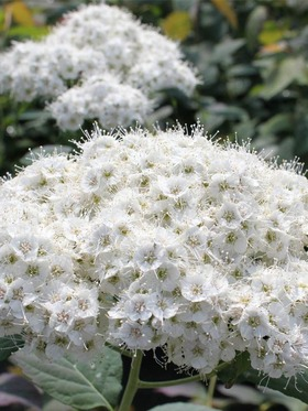 Sparkling white flower clusters.
