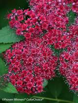 Spiraea Double Play® Red
