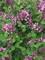 Syringa Bloomerang Dwarf Purple