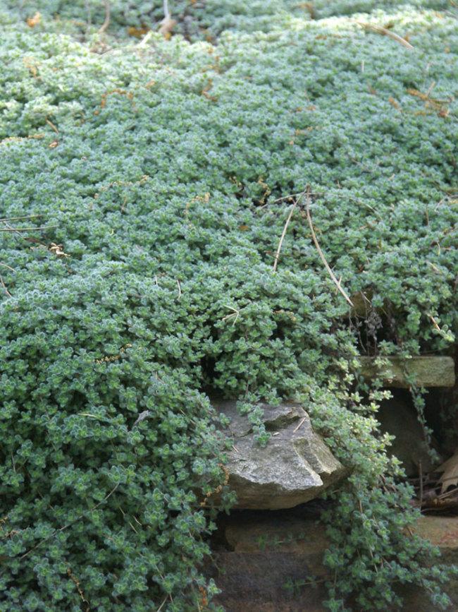 Thymus Lanuginosus