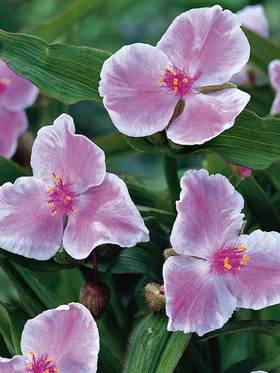 Soft pink-blushed flowers with flouncy ruffled white edges.