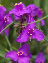 Tradescantia Red Grape