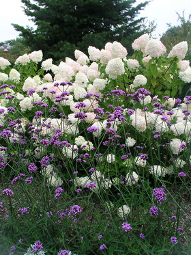 Tall airy Verbena. Lavender flowers are held 3-4' high