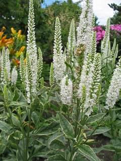 Veronica perennials plant veronicas veronica charlotte mightylinksfo