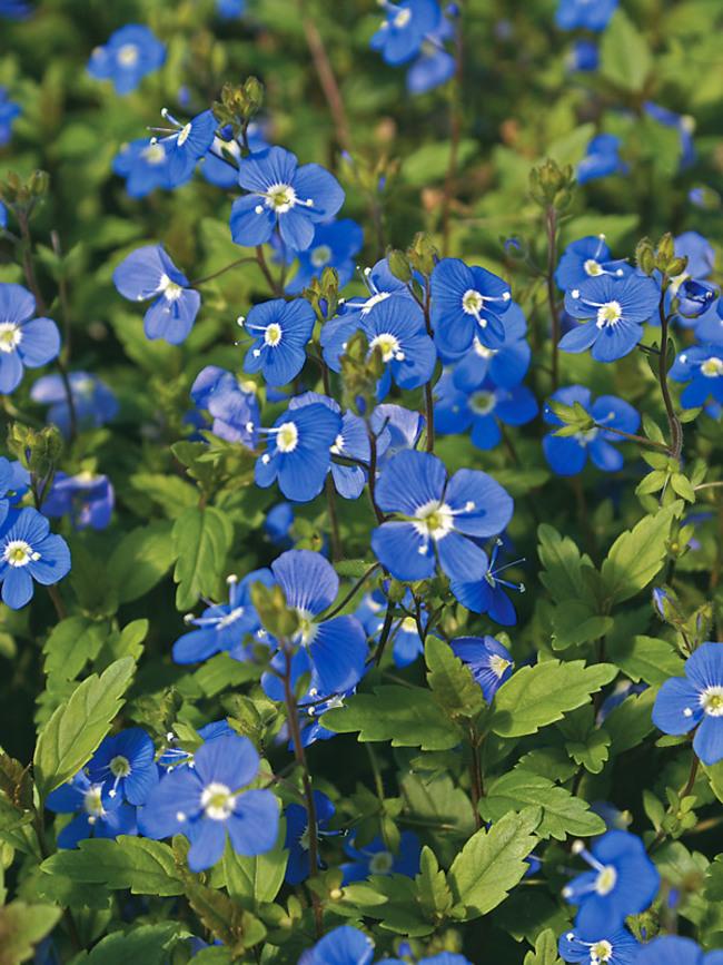 Veronica Georgia-Blue