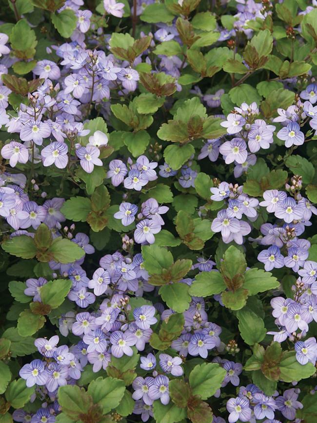 Veronica Waterperry-Blue