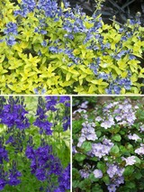 Veronica Collection Shorter Varieties
