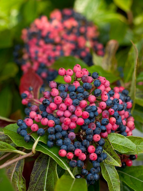 An easy to grow shrub, with a three season interest.