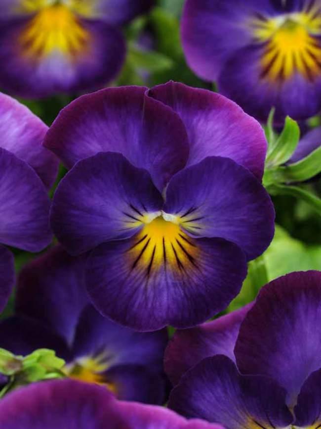 Viola Halo Violet