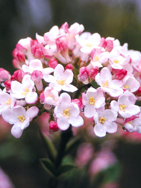 Intensely fragrant pinkish flower heads in spring