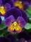 Viola Celestial Northern Lights