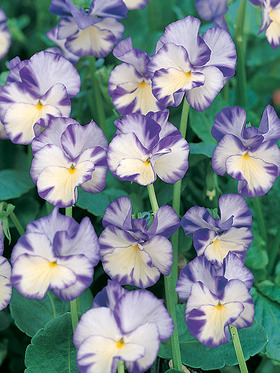 Flowers white flushed in lemon yellow with deep violet markings.